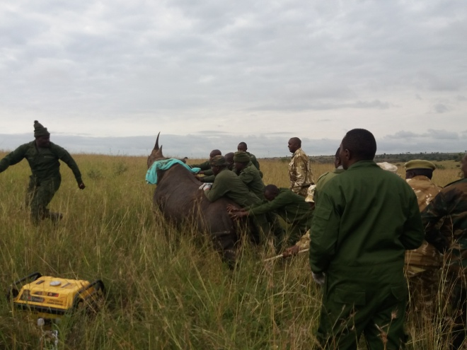 A sedated rhino standing up before expected.